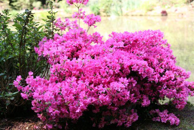 P pini res nicolandes nos plantes gammes azal e for Plante persistante